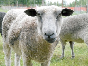 A Wensleydale ewe at Lancashire Family Farm in Ridgeway.