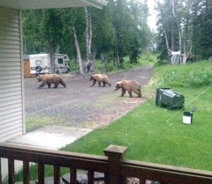 Photos courtesy of Ryan Kapp. A brown bear sow and two cubs roam through Ryan and Lauri Kapp's yard Saturday. The family's French bulldog, Gretzky, dies after attempting to defend his turf from the intruders.