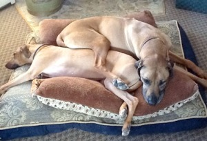 Photo courtesy of Linda Harter. Hunter and Nala, Rhodesian ridgebacks owned by Linda Harter, of Anchorage, and Kendra, her daughter, snooze together at the Harter home.