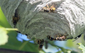 Photo courtesy of Patrice Kohl. Wasps paper a nest hanging in a tree. Stinging insects are particularly active now as they search for food to feed their young.