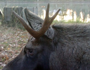 Photos courtesy of Larry Lewis, Alaska Department of Fish and Game. Changes to hunting regulations this season mean that a bull moose with three brow tines on one side, above, is illegal. A bull with a spike on one side, below, is legal.