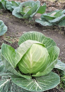 Photos by Joseph Robertia, Redoubt Reporter. Cabbage grows well in Southcentral Alaska, leaving those with even marginally green thumbs bursting with a bumper crop of cabbage heads at the end of the season. Making sauerkraut is an easy way to store it for winter consumption.