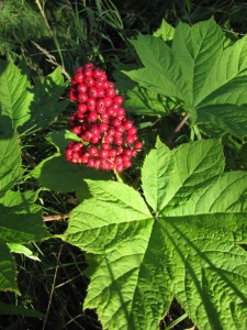 Photos courtesy of Dr. David Wartinbee. The bright-red berries of the devil's club pant are sought after by bears, but humans should beware when brushing up against this prickly plant.