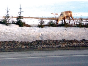 File photo. Wildlife sightings along the Sterling Highway between Sterling and Soldotna, such as this caribou near Pace Street, can cause dangerous traffic situations when cars pull onto the shoulder to look at moose, caribou or other animals.