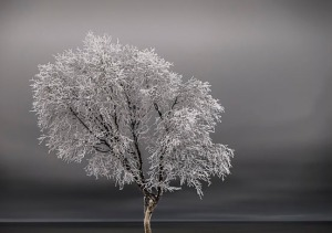 """Wind-deformed Birch Tree Cook Inlet Bluff, December"" by Joe Kashi"