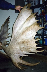"John Crouse's moose, taken in 1994 in the Fortymile area, had a palm measuring 54 4/8 inches long. The rack's symmetry and shape helped make up for its smaller width —a ""mere"" 65 1/8 inches wide."