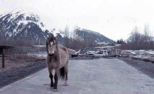 Photo courtesy of Kenai Peninsula College Photo Archive. One of several bridge collapses following the 1964 Good Friday quake, interrupted transportation throughout the affected areas of Southcentral Alaska.  Though deadly and destructive, the quake proved to have a silver lining in inspiring new research and updated seismic engineering standards.