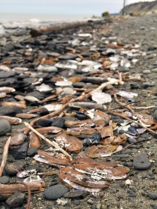 Redoubt Reporter file photo. Dead clams litter the beach near Ninilchik after a powerful fall storm in 2010 scoured the clam beds and killed off a mass amount of razors.