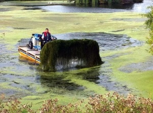 Photo courtesy the Kenai National Wildlife Refuge. The invasive elodea plant reproduces asexually, thrives in cold water and spreads rapidly. The Kenai Peninsula Cooperative Weed Management Area is spearheading efforts to remove the plant before it reaches a critical mass, such as seen here in a lake in the Lower 48.