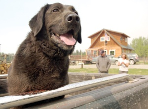 Tony Eskelin's dog Holly got doused with fire retardant along with his truck, Eskelin add his friend, David Powell, on Saturday while watching firefighters work on a firebreak line along the Kenai National Wildlife Refuge border.