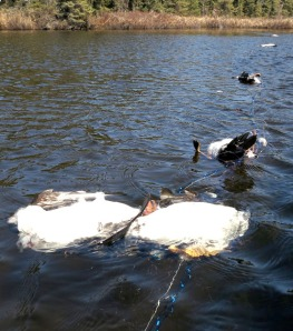 Photos courtesy of Michael Moore. Ducks drowned last week after getting tangled in nets set to combat the pike infestation in Mackey and area lakes.