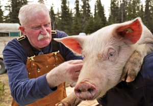 Veterinarian Dr. Jerry Nybakken checks out the pigs before they head off with their new owners.