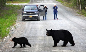 Photo courtesy of Mandy Stahl-Reeder. Heidi Hanson, of Soldotna, and friends had a productive outing wildlife watching on Skilak Lake Loop Road last week. They saw a moose, this black bear, which had two cubs, another sow black bears with three cubs, and one other black bear.
