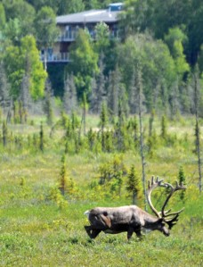 A large caribou bull, part of the Kenai Lowland herd, cuts across the Kenai River Flats near Bridge Access Road in Kenai recently. This herd is closed to hunting until its numbers swell a little higher, but small numbers of hunting permits are issued for the Fox and Killey River herds and the Kenai Mountains herd.
