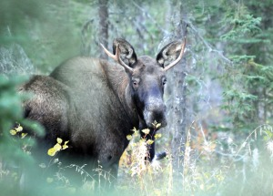 Photos by Joseph Robertia, Redoubt Reporter. With moose hunting season well underway, hunters should be sure prospective targets are legal. Young bulls with small forks on both sides, such as this one, are not legal under the spike-fork rule. A few hunters have already made mistakes this season.