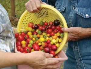 Velma Bittick and Tom Gotcher transfer tomatoes to be taken to market Tuesday. They grow 31 varieties of tomatoes.