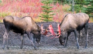 Photo courtesy of Leon Mensch. Two bull moose spar in a yard in Kasilof on Sunday, with blood-stained antlers from having their velvet recently sloughed off.
