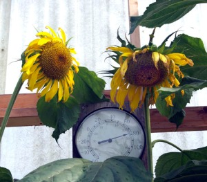 "Photos by Jenny Neyman, Redoubt Reporter. High tunnels extend the growing season, retain heat and help mitigate against the challenges of Alaska's climate, meaning things like sunflowers can be grown successfully. And ""easier"" plants to grow, like cucumbers, can be done in greater volume."