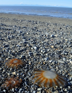 Photo by Joseph Robertia, Redoubt Reporter. Jellyfish have been washing up on Kenai Peninsula beaches for the past few weeks, with the highest concentrations between clam Gulch and Kasilof. The die-off of jellyfish is part of its annual life cycle, but it usually occurs later in the year and doesn't often leave such noticeable evidence.