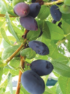 Olson developed his own strain of haskap berries, similar to a blueberry but with more flavor and nutritional value. It's now his majority crop and a highlight of Alaska Berries wines.