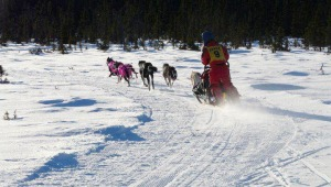 A musher picks up speed in a sprint race held by PSRRA. The organization used to hold several races a year, as well as maintain over 10 miles of trails south of the Soldotna Airport.