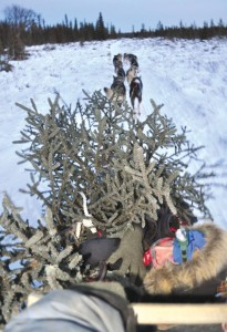 Photos by Joseph Robertia, Redoubt Reporter. Bringing home the Christmas tree, dog sled style.
