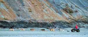 Photo by Joseph Robertia, Redoubt Reporter. A dog sled team trains on the Cook Inlet beach in Kasilof recently. Mushers are having to be creative to run their teams as snowless conditions persist this winter.
