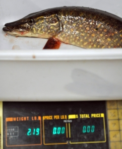 A pike is weighed Saturday at Trustworthy Hardware and Fishing in Soldotna as part of the store's 18th annual Ice Fishing Derby.