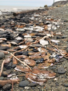 File photo provided Clamshells litter the Ninilchik beach following a winter storm in 2010 that resulted in a massive dieoff of razor clams. The Alaska Department of Fish and Game last week issued an emergency order closing all harvest of razors on the east-side beaches of Cook Inlet this year, in order to give the struggling clam population a chance to rebound.