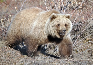 Redoubt Reporter file photo. The return of spring means the return of bears, and the need to be particularly bear aware, as a resident of Kasilof discovered last week after her livestock enclosure was attached.