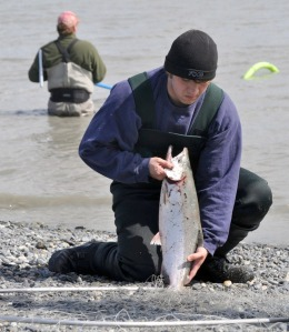 Daniel Evans, of Kenai, takes a sockeye out of his dip net at the mouth of the Kasilof River.