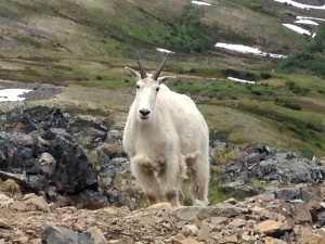 Photo by Jenny Neyman, Redoubt Reporter. Chugach National Forest is seeking volunteers to help with wildlife surveys, including ptarmigan, bats, owls and goats; habitat projects and other tasks.