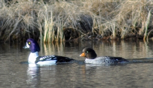A male and female of goldeneye ducks pair up at Peterson Lake.