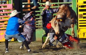 Nate Barak had a clean first bull ride in the Peninsula Cowboy Round-Up on Friday, but for his second attempt he got caught in the ropes and taken for a rough ride, but was not severely injured.