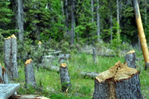 Photo by Joseph Robertia, Redoubt Reporter. Vandals damaged an area along Hidden Lake Trail in the Skilak Wildlife Recreation Area, cutting down trees, stripping bark, carving initials and leaving burned trash.