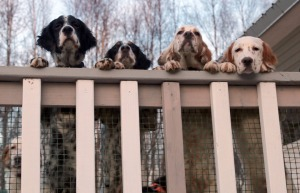 Photo courtesy of Christine Cunningham. Don't be fooled by good looks. There setter pups excel at setting their own rules.