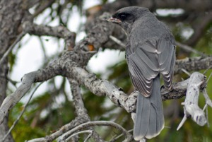 A gray jay is camouflaged among gray branches in a tree in the Skilak Wildlife Recreation Area recently.