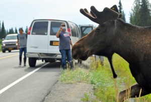 File photo by Joseph Robertia, Redoubt Reporter. A bull moose draws a crowd as it prepares to cross the road.