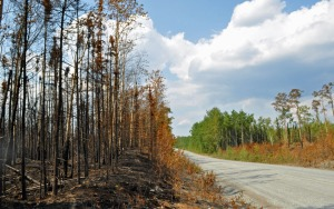 Photo by Joseph Robertia, Redoubt Reporter. The white-spotted sawyer beetle is attracted to trees burned in wildfires. The effects of the Card Street Fire, seen here on Skilak Lake Loop Road, means lunch is on for the insects. Others, like the spruce-bark and ips beetles, are drawn to healthy trees and are more active with warmer weather.