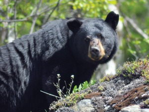 Photo by Joseph Robertia. This black bear was seen on the appropriately named Bear Mountain Trail in the Skilak area.
