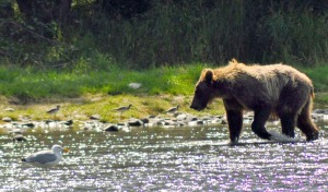 Brown bear opportunities remain strong for the fall hunt, which begins Sept. 1, with only 18 killed so far after the spring portion of the hunt.