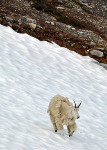 Goat populations are doing well on the peninsula, which bodes well for hunters willing to hike.