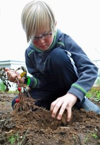 Sixth-grader Sam Booker digs for red potatoes Friday planted by the pervious sixth-grade class at Tustumena Elementary School prior to summer break.
