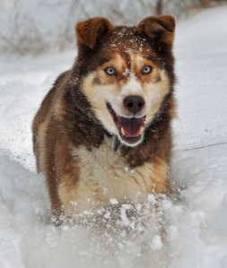 Photo courtesy of Joseph Robertia. Cyder doing what he loved best — running through the snow.