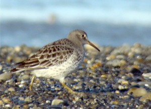 Photos courtesy of Ken Tarbox. A rock sandpiper picks its way along the beach at the mouth of the Kasilof River. The area provides important habitat for shorebirds, particularly the rock sandpiper, where as many as 10,000 have been counted at one time, seen below. A proposal to install a large parking lot, access road and other developments to the north beach of the river is raising concerns over impact to the birds.