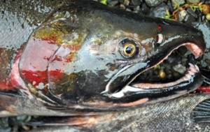 A colorful male coho salmon used for its milt during the egg take.