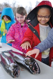 "Photos by Joseph Robertia, Redoubt Reporter. Addison Havrilla, a third grader from Kalifornsky Beach Elementary School, touches a coho salmon during the annual ""egg-take,"" which took place along the bank of Bear Creek near Seward last Tuesday and the Anchor River last Wednesday. The events were part of the ""Salmon in the Classroom"" program, presented by the Alaska Department of Fish and Game's Aquatic Education program and the Kenai Peninsula School."