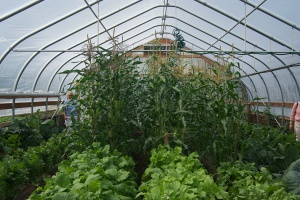 Redoubt Reporter file photos. Kenai Peninsula growers are finding high tunnels effective for Alaska-hardy produce as well as more exotic fare, such as corn and fruit trees.
