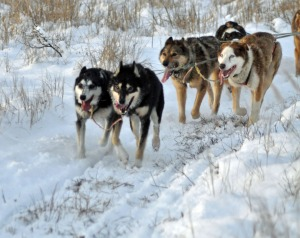 Photo by Joseph Robertia, Redoubt Reporter. A sled dog team makes the most of scant snowcover for a training run in the Caribou Hills recently. The Tustumena 200 Sled Dog Race Board of Directors decided Wednesday to cancel the 2016 race.