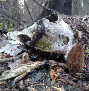 Photos by Jenny Neyman, Redoubt Reporter. Bird-watching and hunting for wild morel mushrooms in the spring are also on the refuge's activity list. This morel is growing next to the remains of a moose skull (hunting is another activity listed).